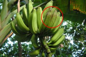 banane-freckle