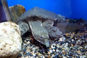 tortues-mangeuses-dhomme