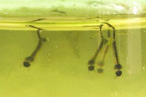 larves-de-moustique